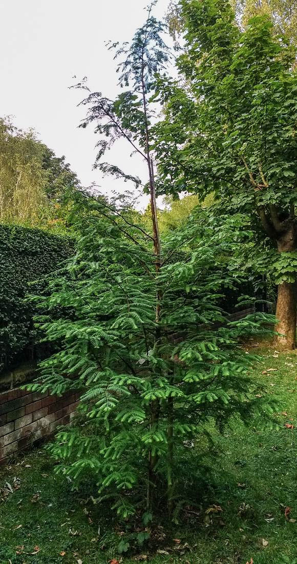 DAWN REDWOOD TREE-2-2.jpg